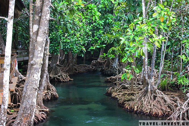 Mangrove Trees in the Tha Pom.
